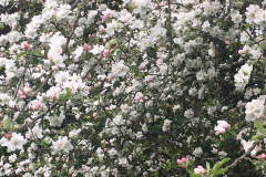 apple-in-bloom-04