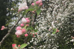 apple-in-bloom-05