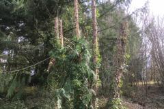 cedar-removal-52