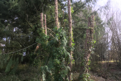 cedar-removal-53