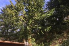 cedar-removal-54